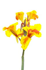 Closeup on red and yellow Canna lily on white background