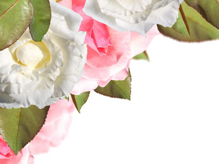 Pink and white roses on a white background