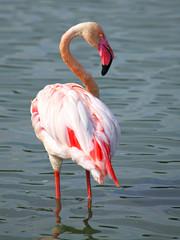 Beautiful Flamingo standing on two feet