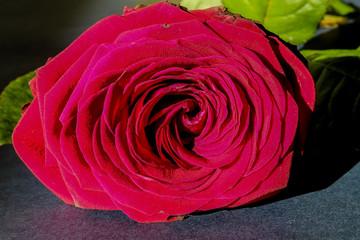Rose after valentines