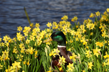 A drake mallard duck on the lake shore among the daffodils in the sunshine