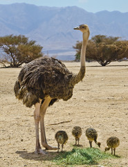 Female of African ostrich (Struthio camelus) with its young chicks in Israeli nature reserve park, 35 km north of Eilat