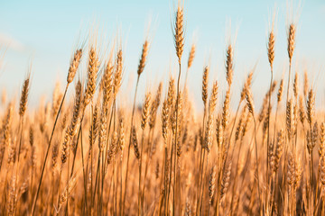 Wall Mural - Buğday başakları