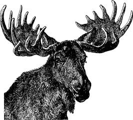 Vintage image moose