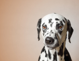 gloomy angry dog looks unhappy