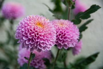 Violent chrysanthemums flower