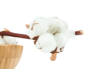 Cotton twig on white background