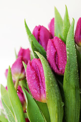 Tulips flowers with drops of dew.