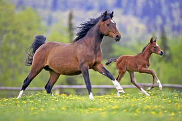 Bay Mare and Foal galloping together in spring meadow