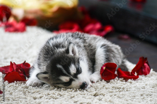 Siberian Husky Puppy With Blue Eyes Stock Photo And Royalty Free