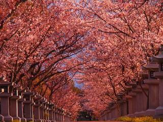 龍満池の桜並木