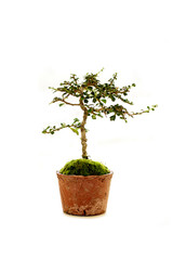 Isolated of bonsai.