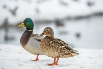 duck on ice in winter time Wall mural