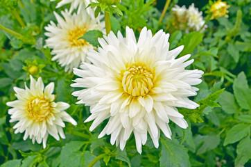 Dahlia-cactus flower in the garden close up. Dahlia with creamy white petals