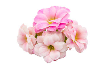 small pink flowers isolated