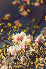 Magnolia tree in full blossom