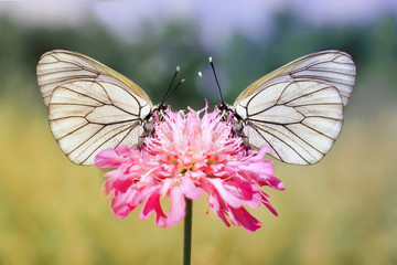 two white butterfly on a pink flower