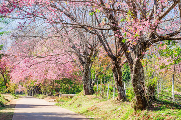 Beautiful cherry blossom trees, Chiang Mai, Northern of Thailand