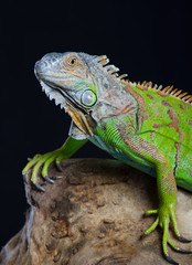 Beautiful green iguana sits on a tree
