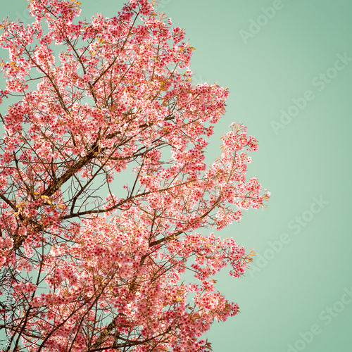Wall mural Nature background of beautiful of tree cherry pink flower in spring - vintage pastel color filter