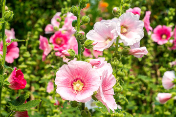 Flowers Holly Hock (Hollyhock) white and pink in the garden