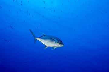 Giant trevally tuna caranx fish