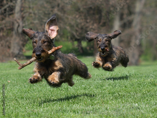 Cani Bassotto Di Corsa Stock Photo And Royalty Free Images On