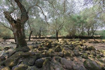 Alberi di olive in campagna