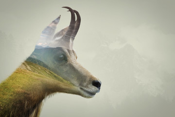 Double exposure of chamois in the mountains