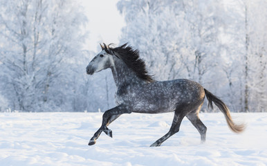 Wall Mural - Purebred horse galloping across a winter snowy meadow