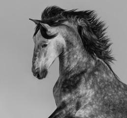 Obraz Dapple-grey andaluzyjski ogier - fototapety do salonu