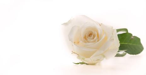Fotobehang Roses white rose