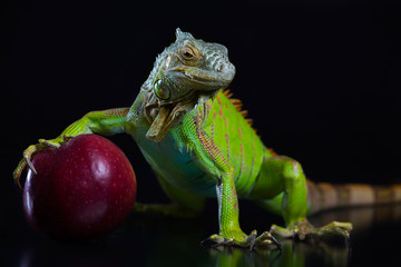 Green Iguana with a red apple on a black background