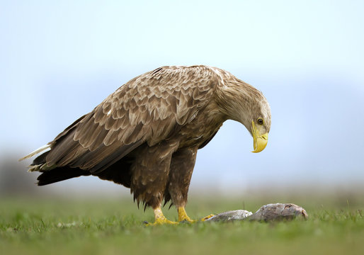 Adult white tailed eagle with fish in the grass, clean background, Hungary, Europe