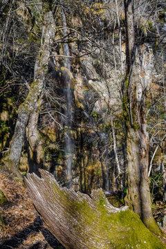 El tronco de un viejo árbol caído en medio de un bosque en Samos, Camino de Santiago, Galicia