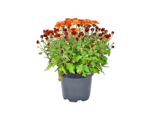 Chrysanthemum flowers sprout in pot