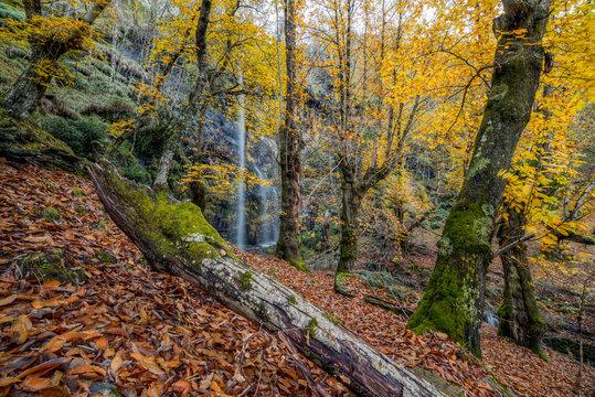 Bosque de castaños con preciosa catarata en otoño