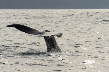 Whale going under water with tail in Iceland