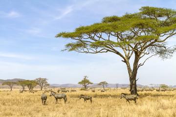 Obraz Zebras eats grass at the savannah in Africa - fototapety do salonu