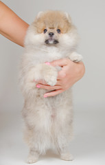 Cute Pomeranian puppy standing on its hind legs (with the owner hand embracing it, on a gray background)
