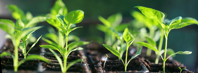 Fototapeta Plant de poivrons à 4 feuilles obraz