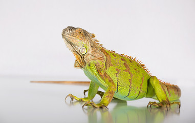 The green iguana is looking down on a white background