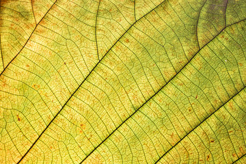 leaf texture and background