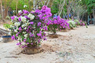 Flower Bougainvillea,  botanical garden, decorative flowerbed, Thailand