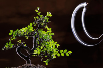 Bonsai at night with the moon- backlighting