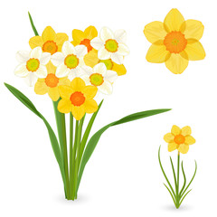 collection of daffodils. spring flowers for your design