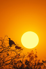 Silhouette Of Great Cormorant with Rising Sun