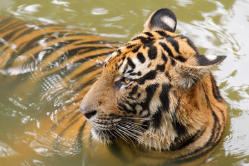 Indochinese tiger (Corbett's tiger)(Panthera tigris corbetti) in the water