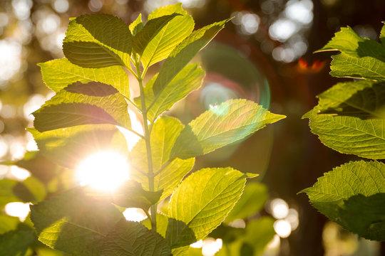 Green healthy plant garden in sunlight setting sun dusk dawn sunset sunrise through leaves