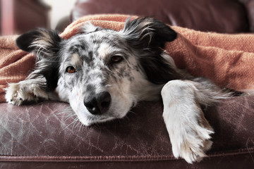 Border collie Australian shepherd dog canine on brown leather couch under blanket looking sad bored lonely sick ill tired exhausted hopeless